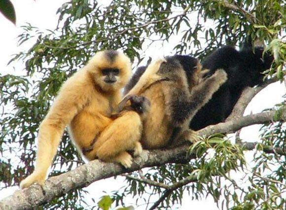 Hainan black crested gibbon wwwneprimateconservancyorguploads153815380