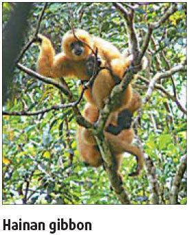 Hainan black crested gibbon Hainan gibbons on the most endangered list chinaorgcn
