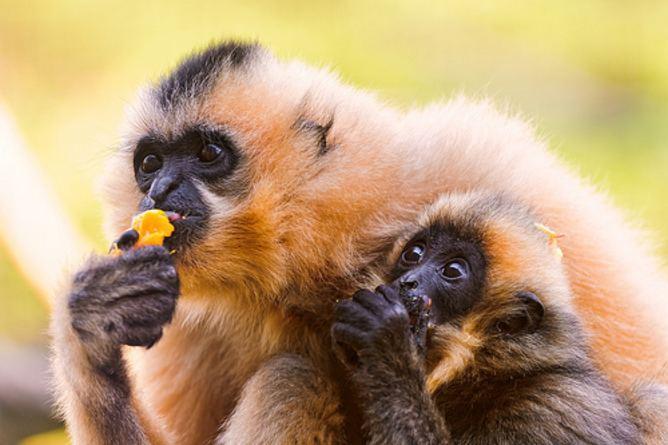 Hainan black crested gibbon Endangered speicies Hainan blackcrested Gibbon