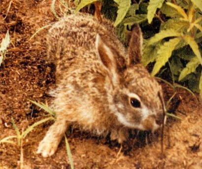 Hainan hare wwwplanetmammiferesorgPhotosRongeurLagomoLe