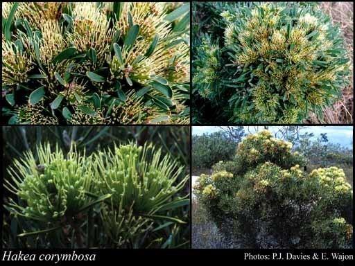 Hakea corymbosa Hakea corymbosa RBr FloraBase Flora of Western Australia