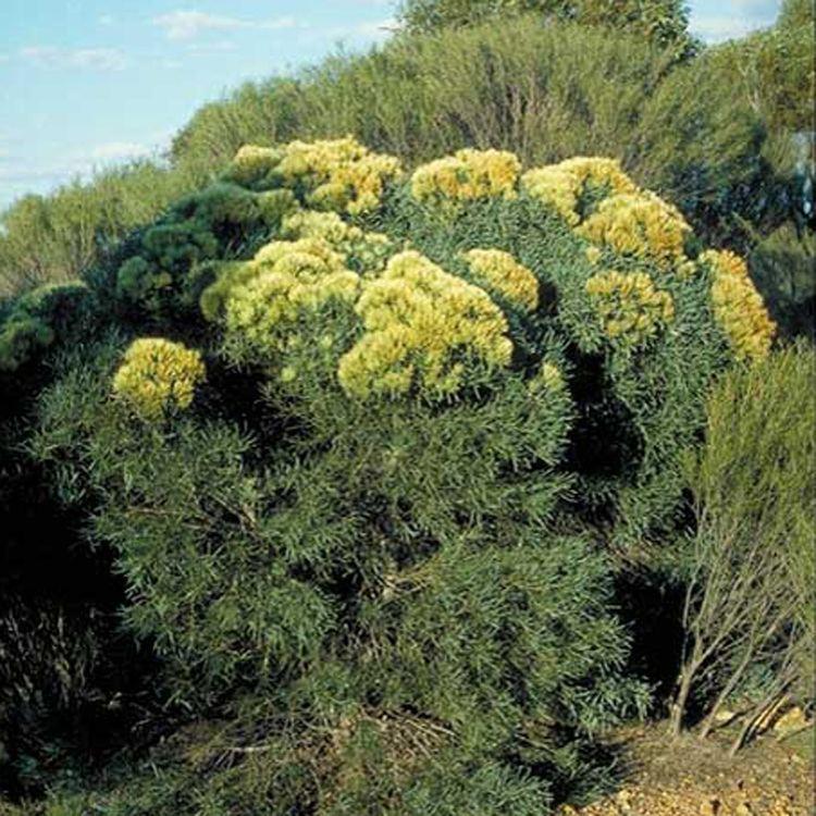Hakea corymbosa Australian Seed HAKEA corymbosa