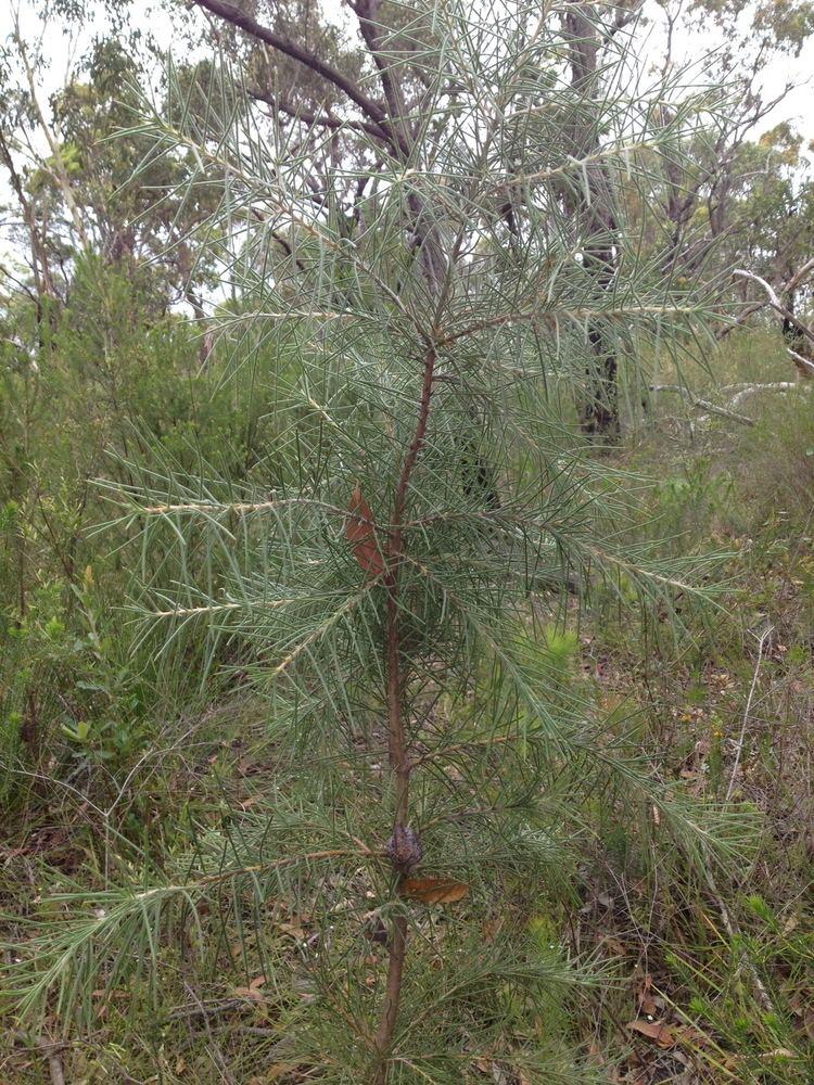 Hakea gibbosa PostFire Seed Production in Hakea Gibbosa Centre for Ecosystem