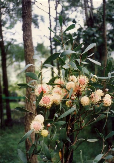 Hakea laurina wwwaustralianplantscomimagesphotosHakealauri