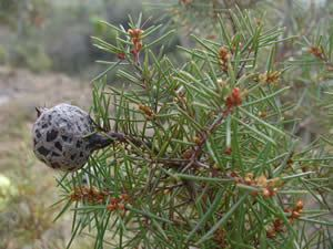 Hakea sericea CIB DSTNRF Centre of Excellence for Invasion Biology