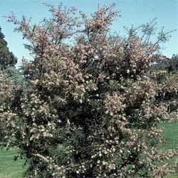 Hakea sericea Hakea sericea Growing Native Plants