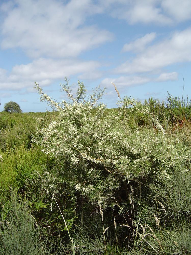 Hakea teretifolia Hakea teretifolia Swinburne Commons