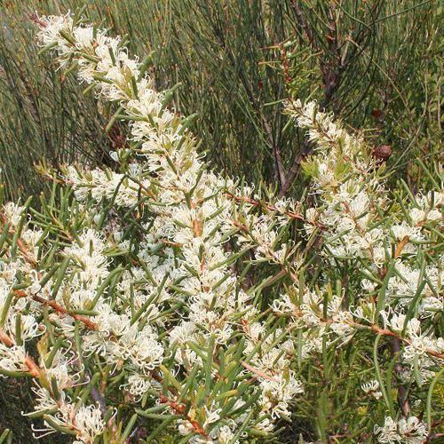 Hakea teretifolia HAKEA TERETIFOLIA SEEDS Dagger Hakea Hakea Pugioniformis Needlebush
