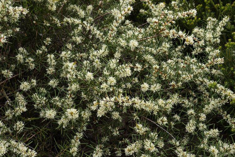 Hakea teretifolia RoyalCoastWalk1