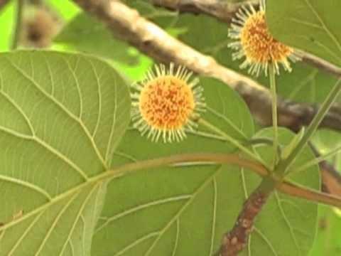 Haldina Haldu Haldina cordifolia flowers Maredumilli Andhra Pradesh