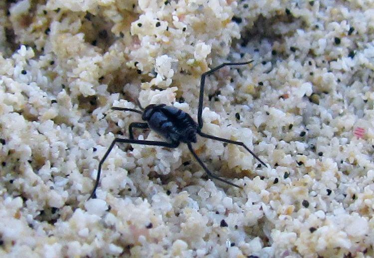 Halobates Halobates sp Hemiptera Gerridae at Castle Beach Kailua Hawaii