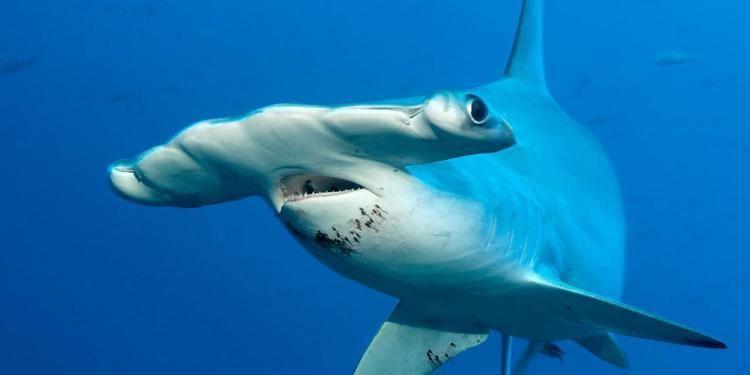 Hammerhead shark BBC Earth Why do hammerhead sharks look like that