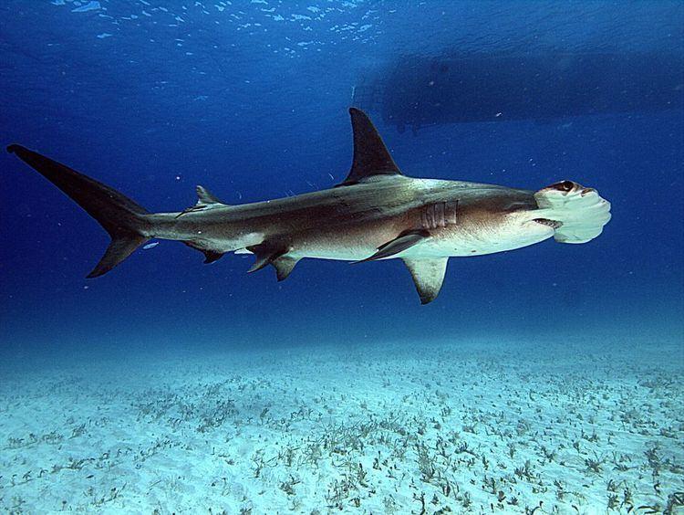Hammerhead shark yourshotnationalgeographiccomussfQYSUbVftsT7
