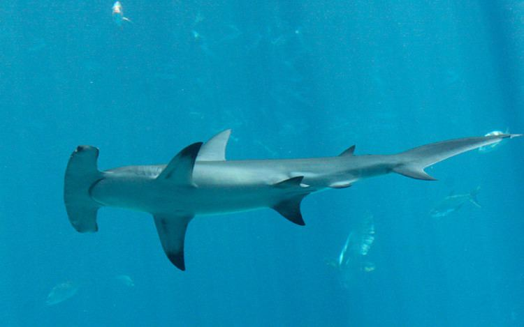 Hammerhead shark Hammerhead Shark Shark Facts and Information