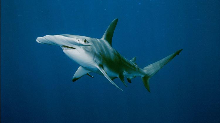 Hammerhead shark Hammerhead Shark