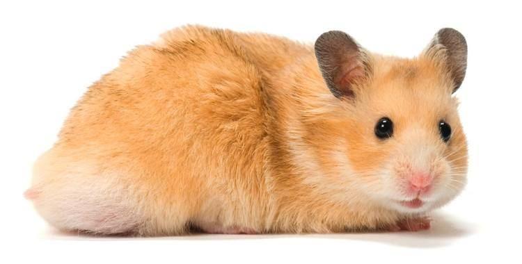 Hamster hamsters Boing Boing