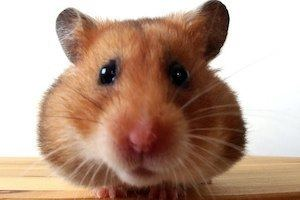 Hamster Facts Diet Habits amp Types of Hamsters