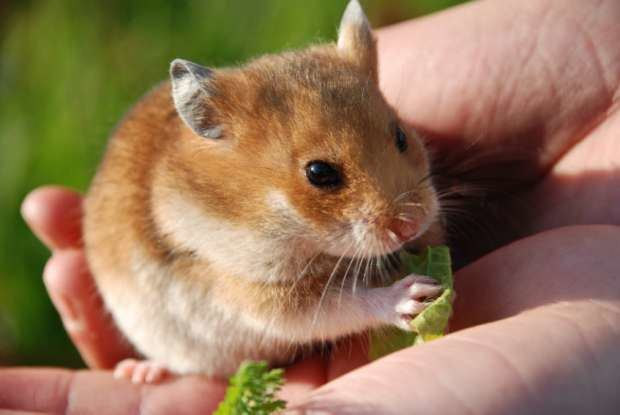 Hamster 11 Adorable Facts About Hamsters Mental Floss
