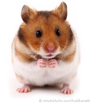 Hamster wwwpetwebsitecomhamstershamstersimagessyrian