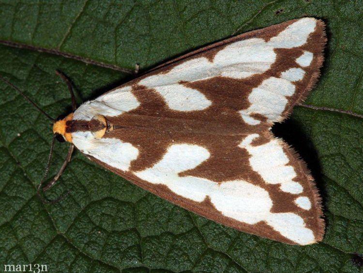 Haploa Leconte39s and Confused Haploa Moths