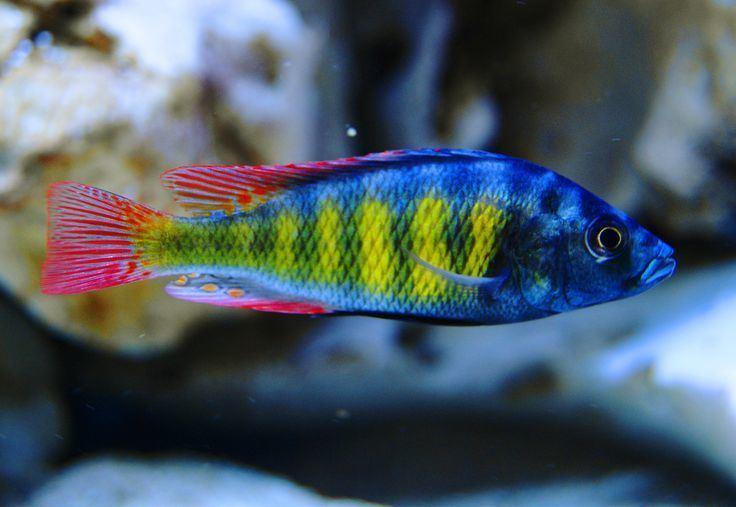 Haplochromis Haplochromis sp 44 obliquidens Haplochromis Thick Skin 120 Gallon
