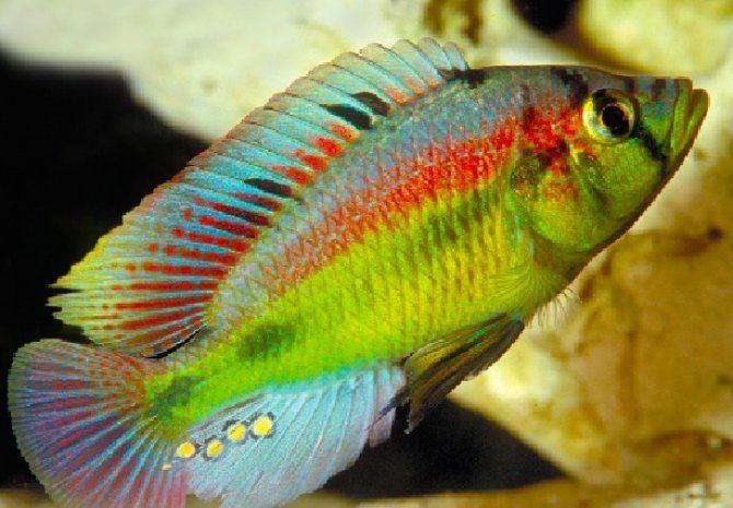 Haplochromis haplochromis Haplochromis aeneocolor African cichlids Pinterest