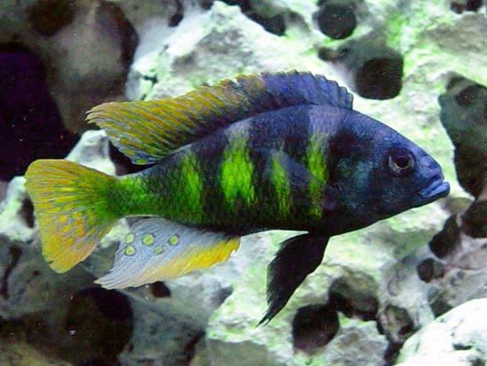 Haplochromis haplochromis Male Haplochromis sp 44 quotRed Tailquot H Blair Howell