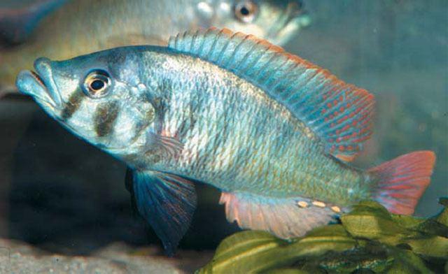 Haplochromis Fish Identification