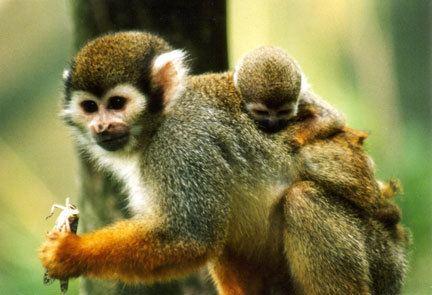 Haplorhini Primates fosiles y actuales