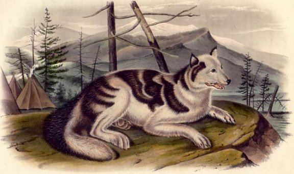 Hare Indian Dog - Alchetron, The Free Social Encyclopedia