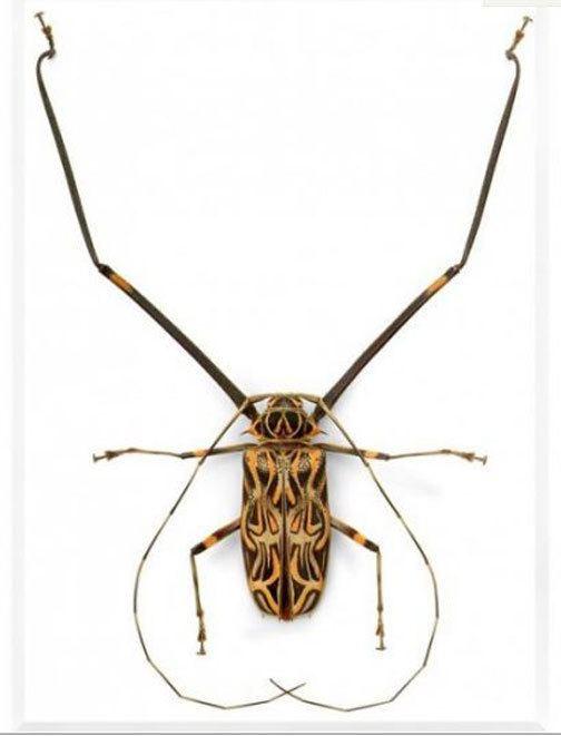 Harlequin beetle Harlequin Beetle Acrocinus longimanus
