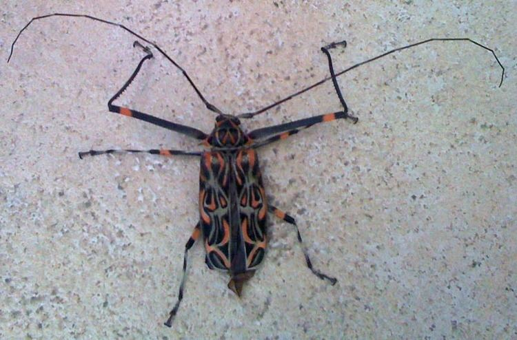 Harlequin beetle Harlequin Beetle from Brazil What39s That Bug