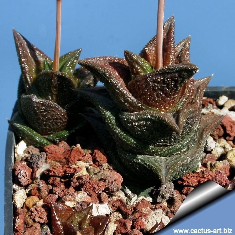 Haworthia nigra Haworthia nigra