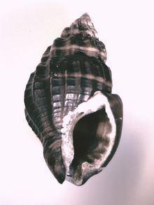 Hebra (gastropod) httpsuploadwikimediaorgwikipediacommonsthu