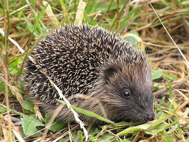 Hedgehogs in New Zealand