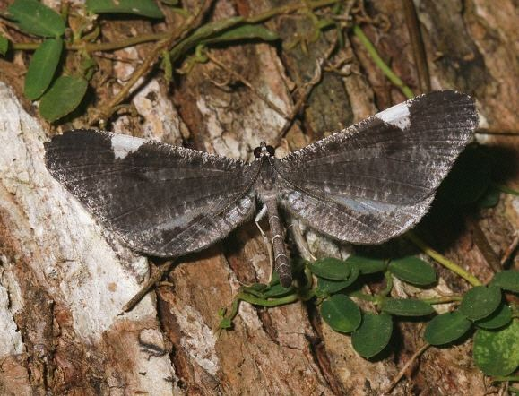 Hedylidae Moths of the Andes Macrosoma heliconaria