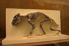 Hegetotheriidae httpsuploadwikimediaorgwikipediacommonsthu