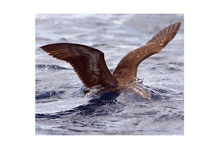 Heinroth's shearwater Heinroth39s Shearwaters paper by Peter Harrison Apex Expeditions