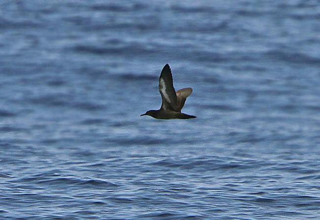 Heinroth's shearwater Oriental Bird Club Image Database Heinroth39s Shearwater Puffinus