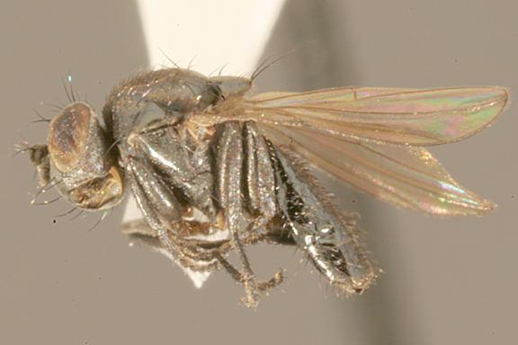Helaeomyia petrolei httpsuploadwikimediaorgwikipediacommons22