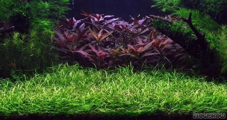 Helanthium Helanthium tenellum Flowgrow Aquatic Plant Database