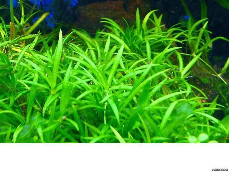 Helanthium tenellum httpswwwflowgrowdedbimagesaquaticplantsde