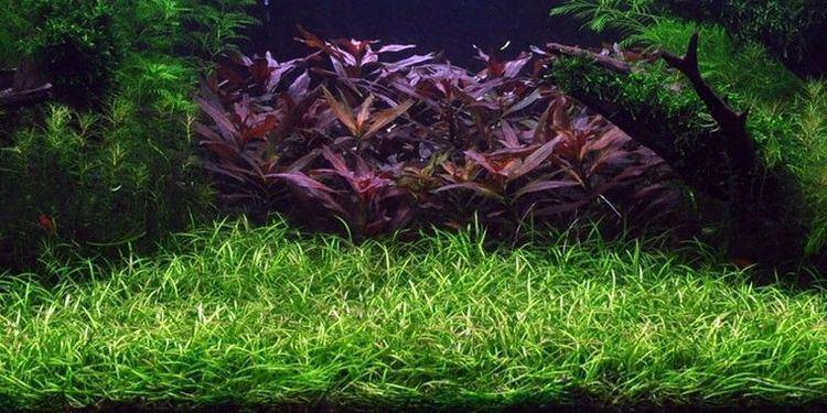 Helanthium tenellum Helanthium tenellum In Vitro Cup aquariumplant Onlineaquariumspullen