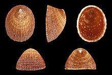 Helcion pectunculus httpsuploadwikimediaorgwikipediacommonsthu