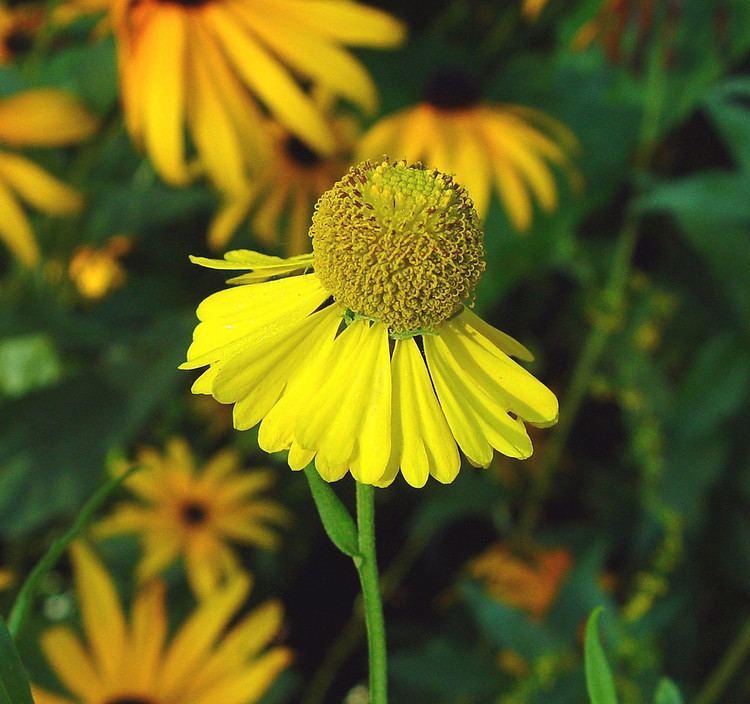 Helenium autumnale Helenium autumnale fall sneezeweed Go Botany