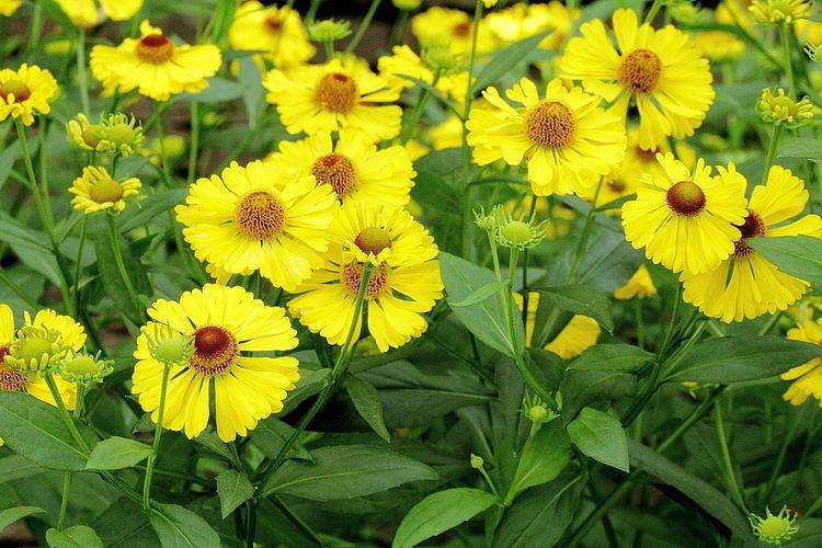 Helenium autumnale Sneezeweed Helenium autumnale Plant Care Guide Auntie Dogma39s