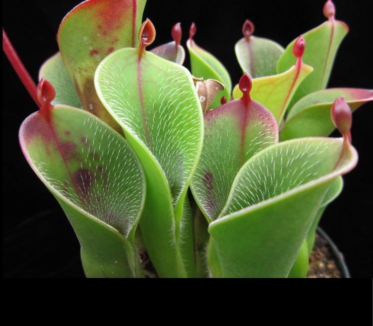 Heliamphora Heliamphora pulchella photos