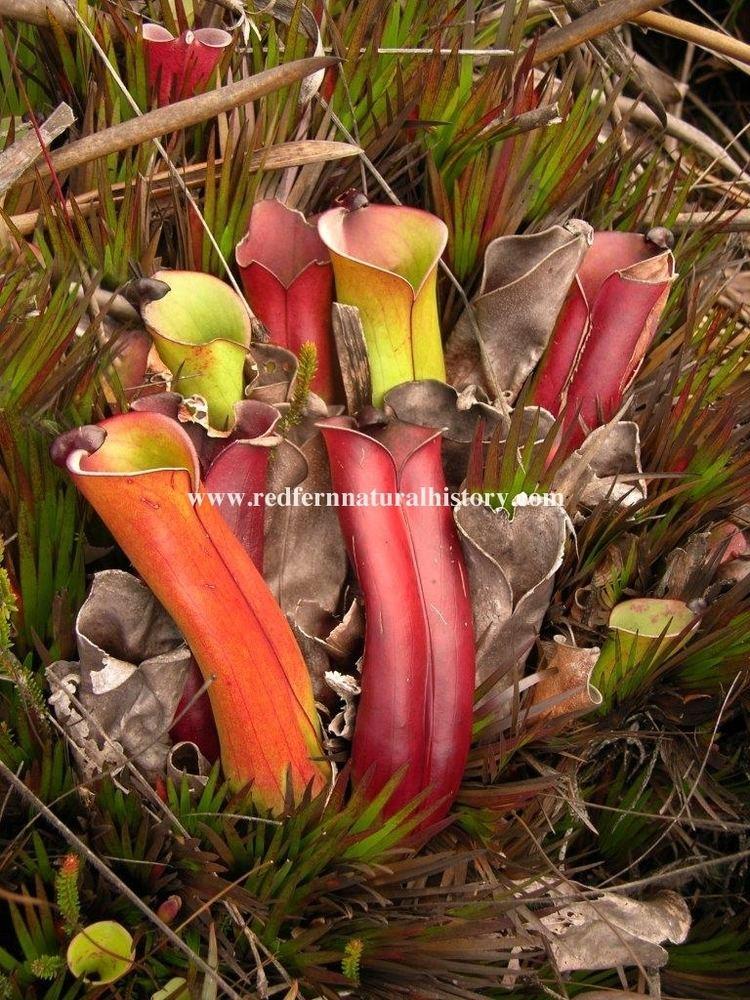 Heliamphora folliculata Heliamphora folliculata Redfern Natural History