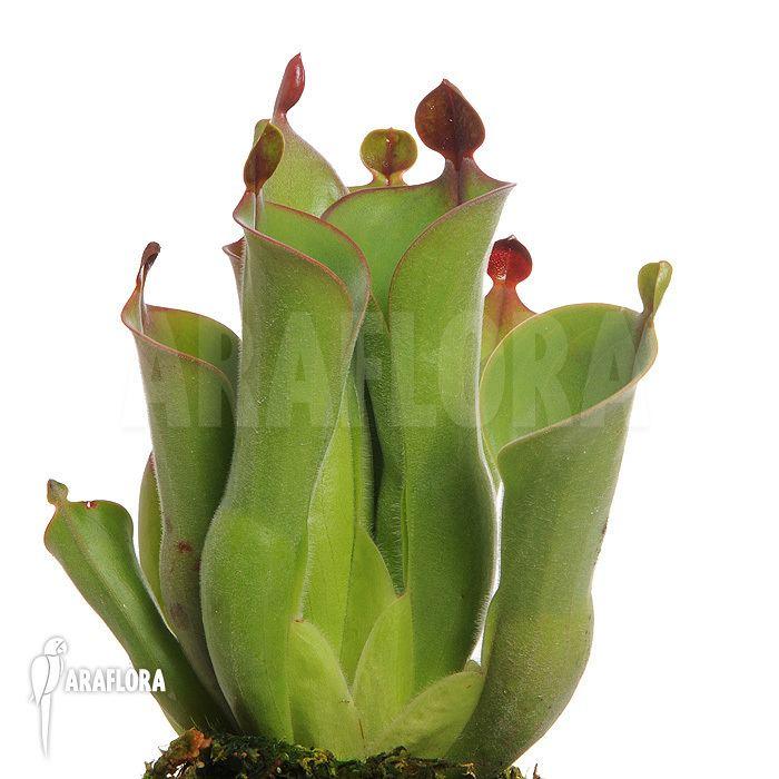 Heliamphora neblinae Araflora exotic flora amp more Sun pitcherplant Heliamphora
