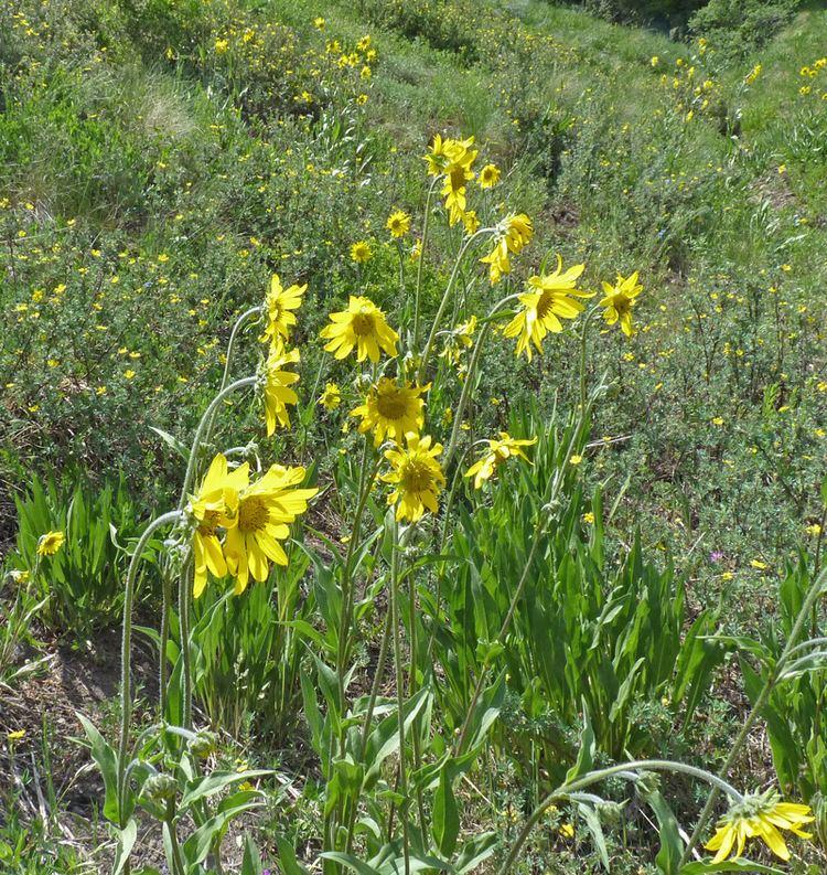 Helianthella quinquenervis Southwest Colorado Wildflowers Helianthella quinquenervis